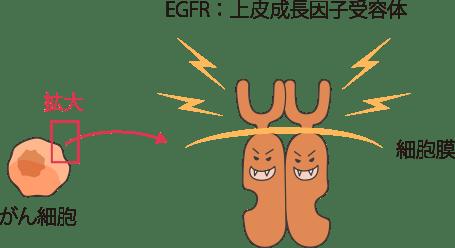 EGFRから出る信号に作用   肺が...